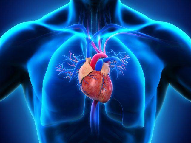 Моторчик твоего тела: сердце